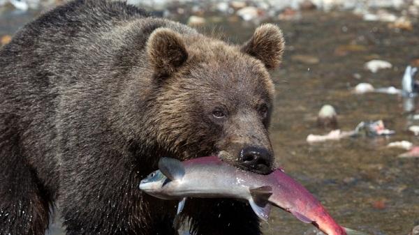 cá hồi đối với hệ sinh thái